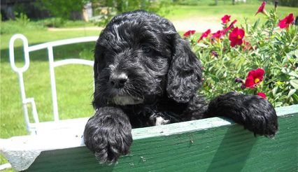 Adorable Black Cockapoo Puppy Is A First Generation Mix Of A Pure