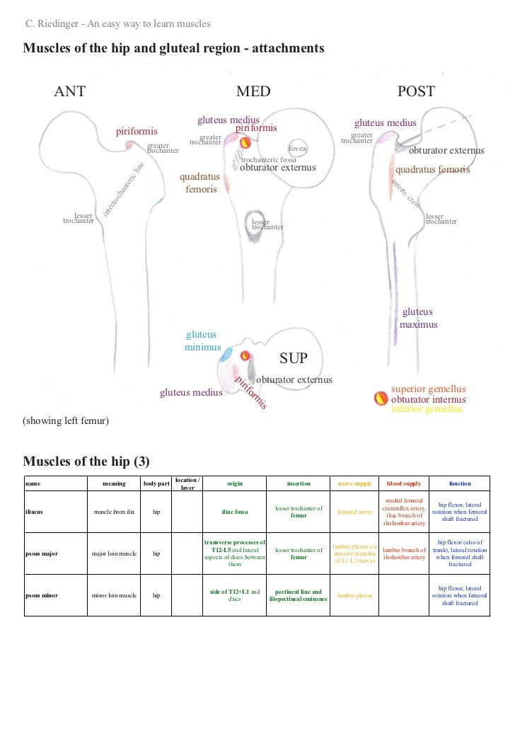 An Easy Way To Learn Hip Muscles Anat Pinterest Anatomy