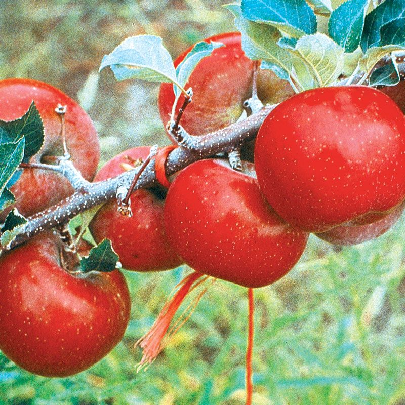 Red Fuji Apple From Stark Bro's