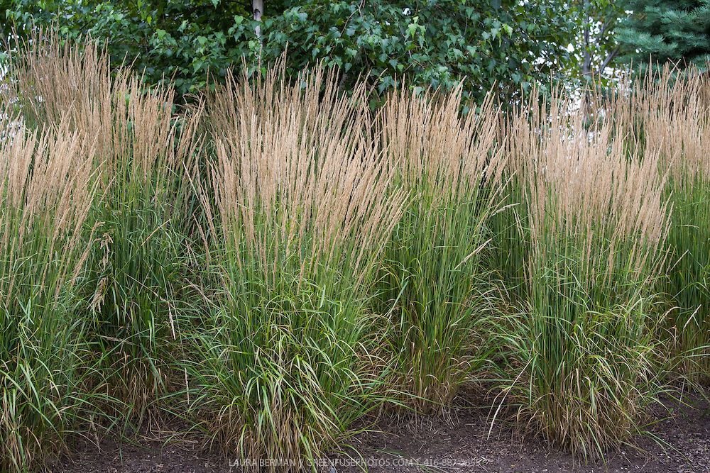 Large flowering clumps of the tall ornamental 39 karl for Tall grass garden