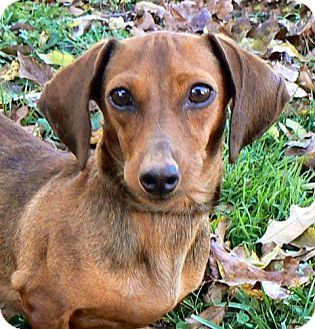 Hagerstown, MD Dachshund Mix. Meet TINY MARIE a Dog for
