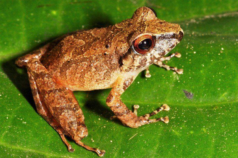 Una nueva especie de anfibio descubierta en Perú!