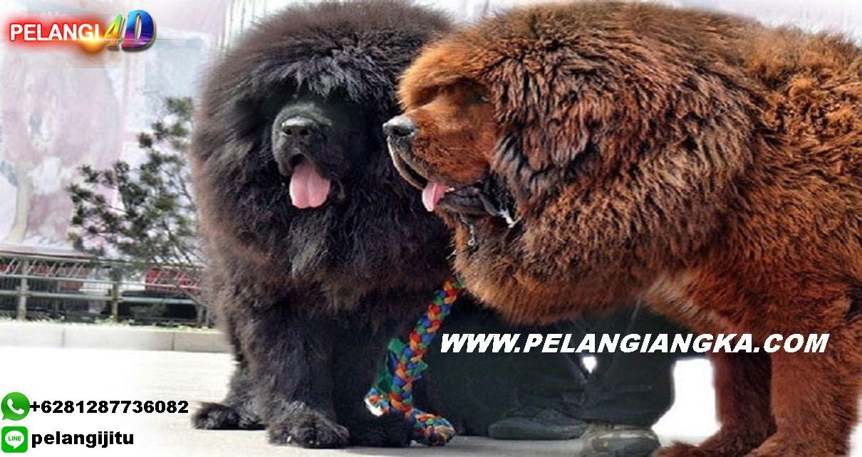 29++ Anjing tibet terupdate