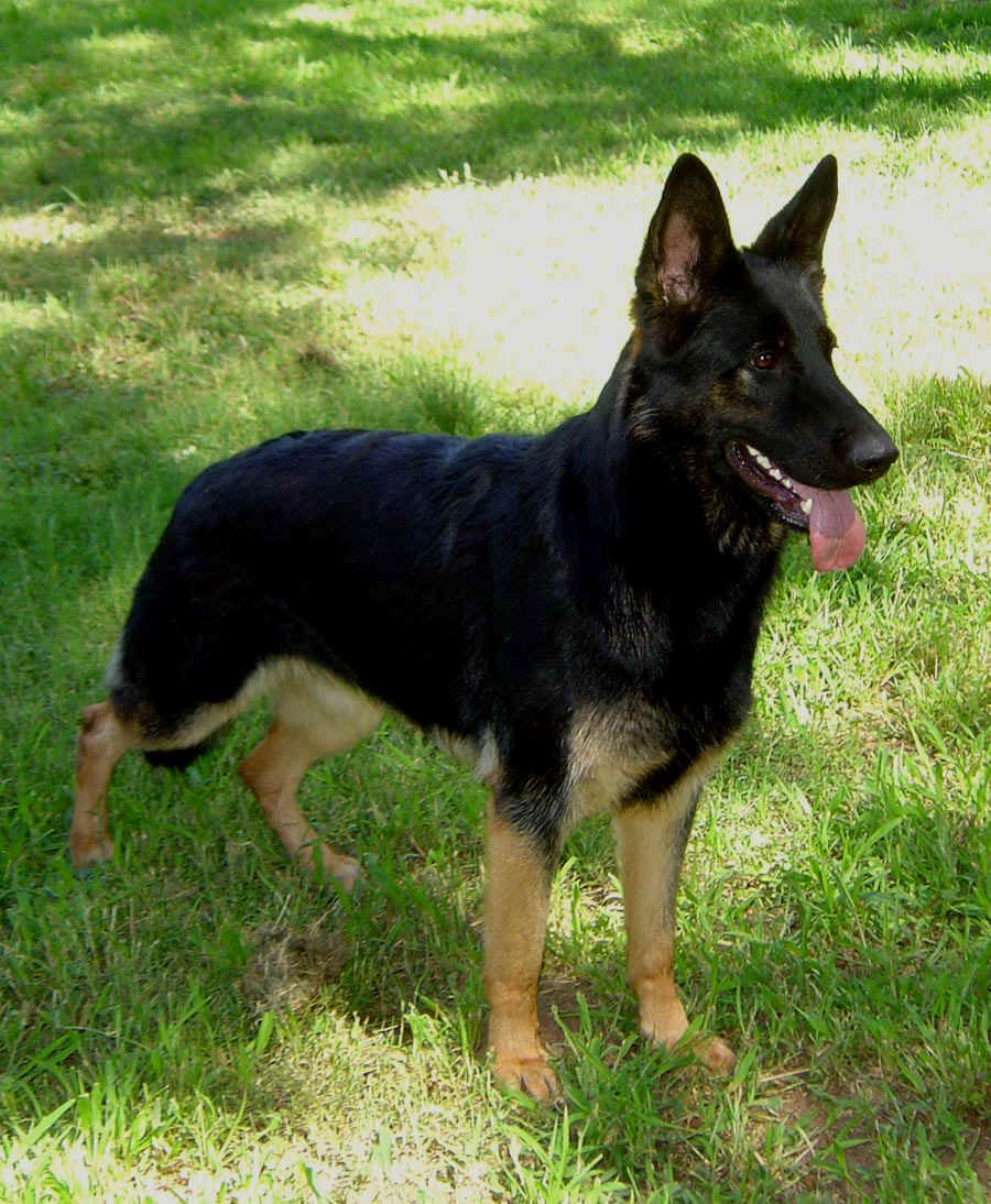 Black German Shepherd I Want One Like This One German Shepherd