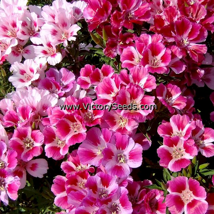 Dwarf Godetia Clarkia Amoena From Victory Seeds In 2020 Seeds Pink Flowers Flowers