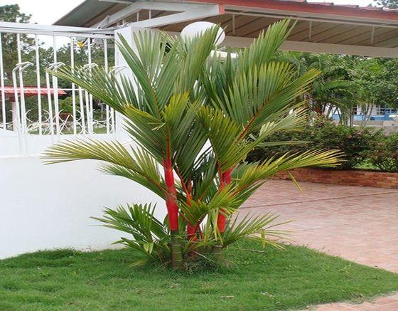 palma roja jardines plantas cactus pinterest palmeras palmas y jardines. Black Bedroom Furniture Sets. Home Design Ideas