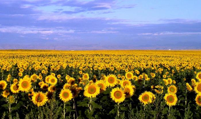 Kansas Health Insurance Exchange Sunflower fields
