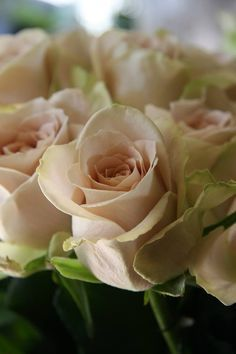 Sahara Rose Champagne Colored Rose Photo Shoot Design Board Beautiful Rose Flowers Pretty Flowers Beautiful Flowers