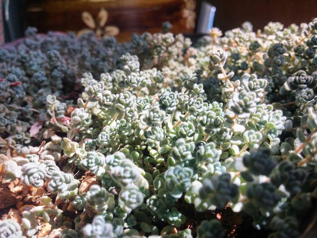 #쥐방울세덤 #세덤 #방울세덤 #다육 #다육식물  #쥐방울 #귀염 #succulent #sedum #plant  쥐방울만한녀석ㅋㅋㅋ 귀엽게 바글바글 키우고있는데 별 관리도 안해주고 냅두는 아이들 by moon.plant5