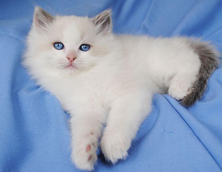 Available Ragdoll Kittens Ragdolls Kittens For Sale Ohio Ragdoll Cat Ragdoll Kitten Ragdoll Cats For Sale