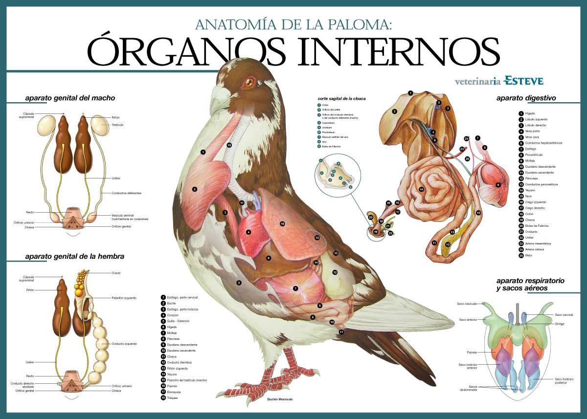 Mis amigas las palomas: Esquemas anatomía de las palomas | LA PLUMA ...