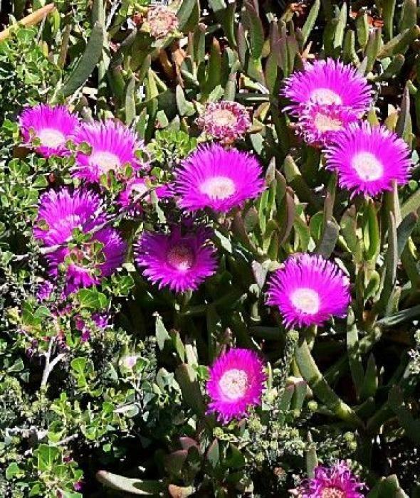 La Griffe De Sorciere Une Plante Grasse Decorative Plantes