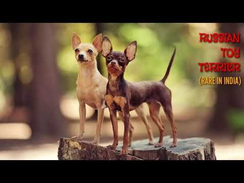Rare Russian Toy Terrier Russkiy For Sale In India Russky Puppies Toy Breed Boskys Kennel Youtube In 2020 Russian Toy Terrier Toy Puppies Russian Toys