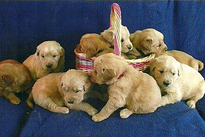 Golden Retriever Puppies Pet Dog Puppies For Sale In Hoosick Falls