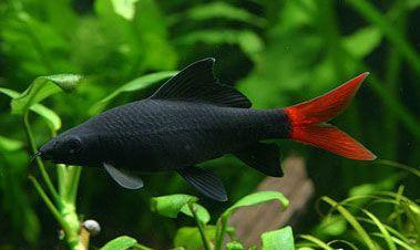 4 types of freshwater aquarium sharks aquarium hobby for Red tail shark fish