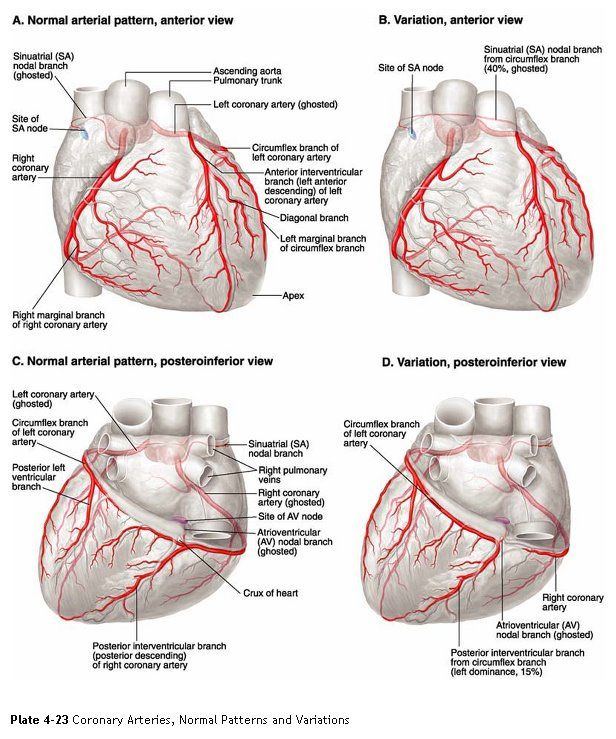 Coronary Arteries Coronary Arteries2 1 Nursing Skills And A