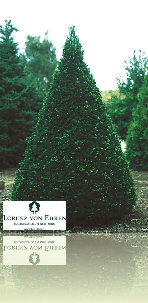 Taxus Baccata Baumschule Lorenz Von Ehren Baumschulen Seit 1865 Wir Lieben Baume Baumschule Baum
