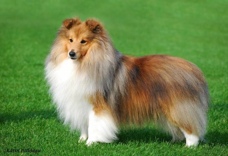 Shetland Sheepdog Sheltie Puppies For Sale Sheep Dog Puppy