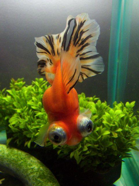 Cutest little Telescope Eyed Goldfish Goldfish, Goldfish