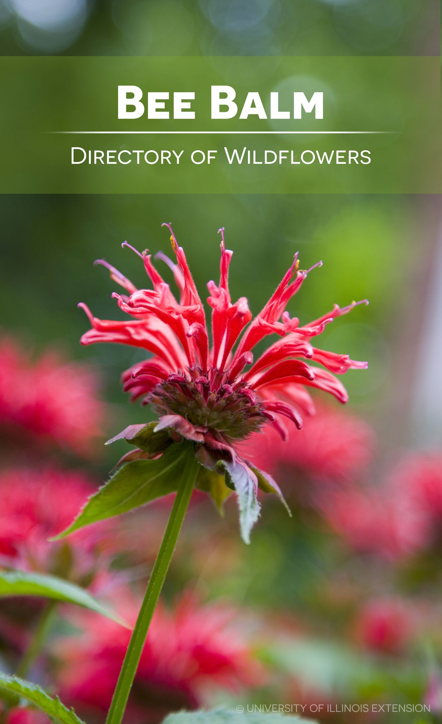 directory of wildflowers bee balm monarda didyma wild flowersgardening - Flower Garden Ideas Illinois
