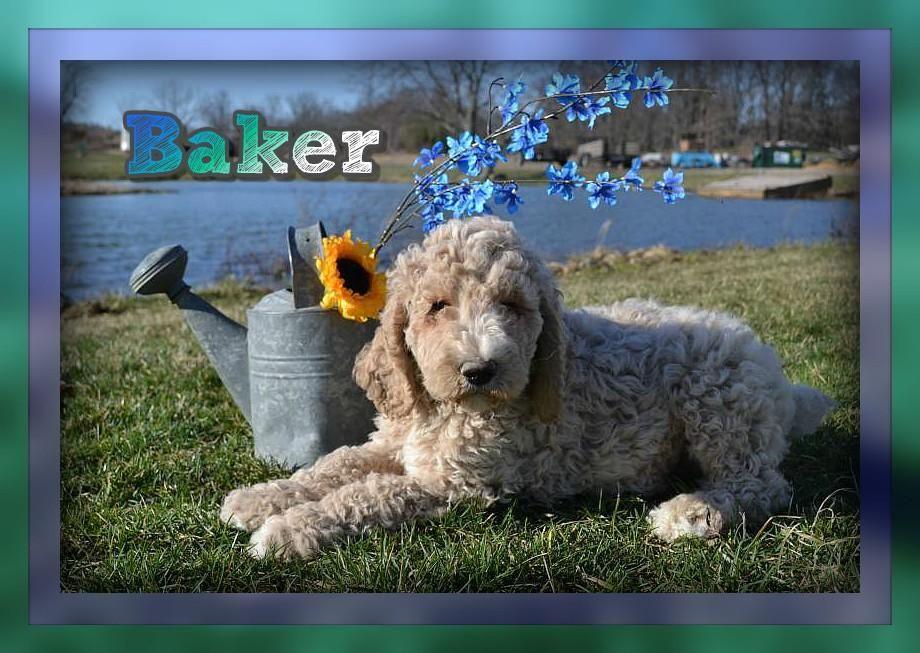 Baker Male Standard Poodle 750 Poodle Puppies For Sale Poodle
