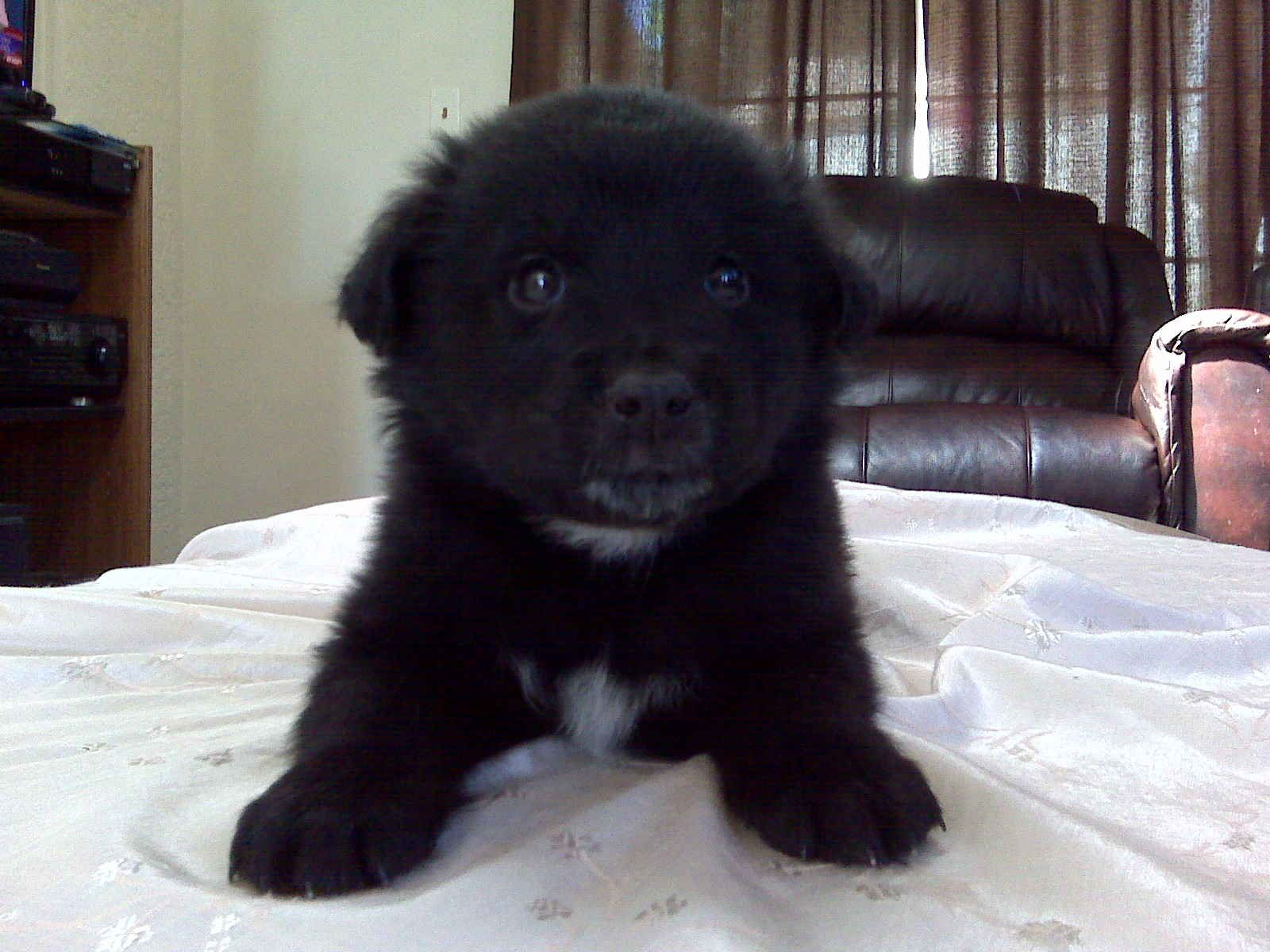 Chow Lab Mix Puppy Yes Please Lab Mix Puppies Big Dogs Puppies