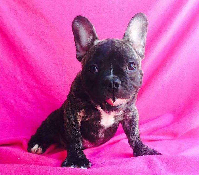 French Bulldog Puppy For Sale In Charleston Sc Adn 23950 On