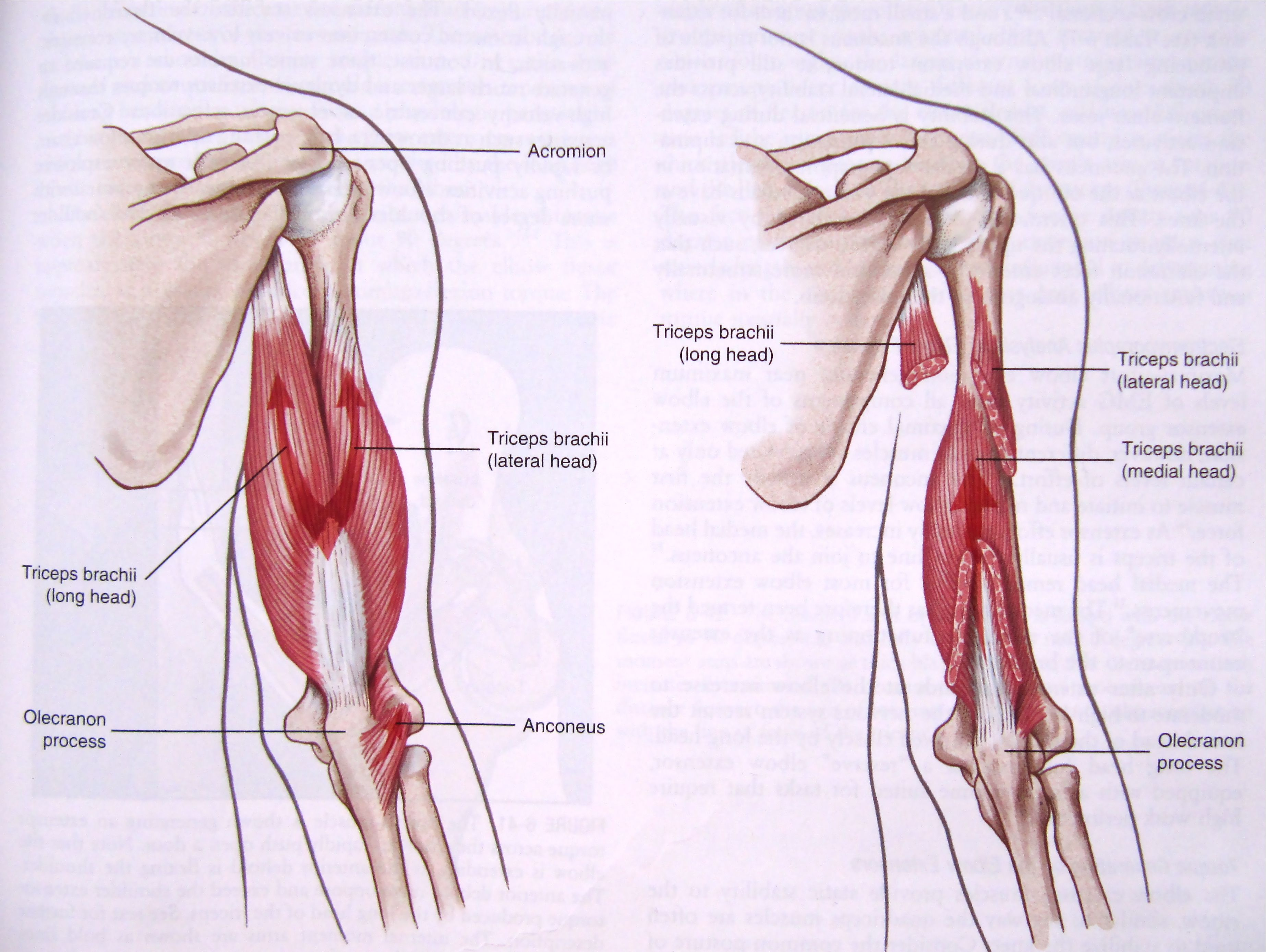 32+ And triceps diagram information