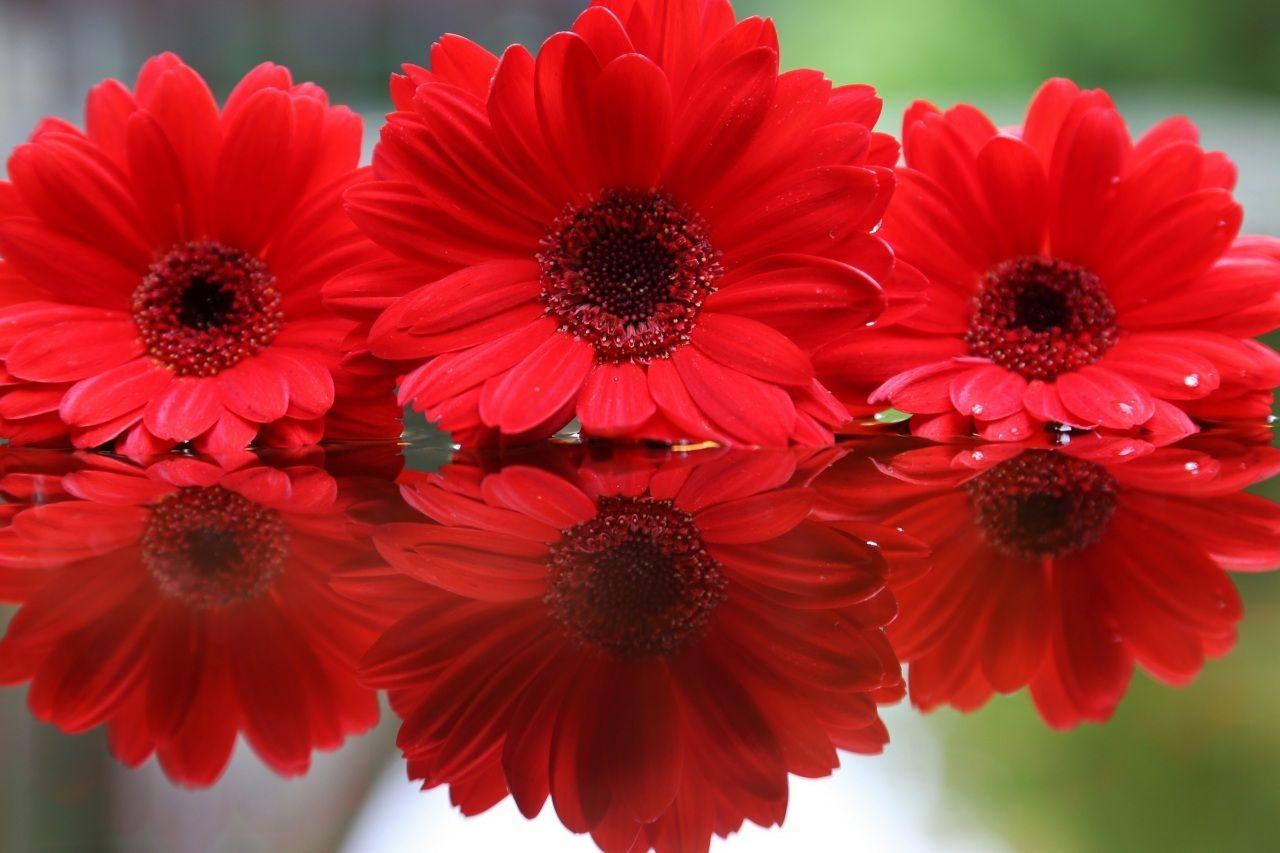 ガーベラ 赤 花 ガーベラ 赤 花 季節の生花種類