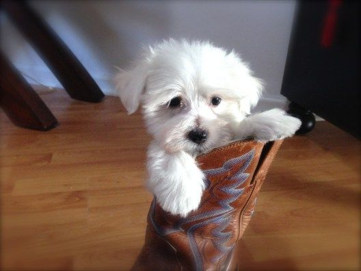 Maltipoo Pups For Sale Ocala Florida Puppies For Sale Maltipoo