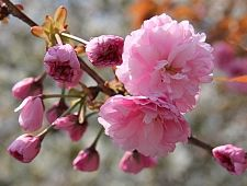 Types of cherry blossom tree garden design ideas a beginner s guide to cherry blossom viewing tree mightylinksfo