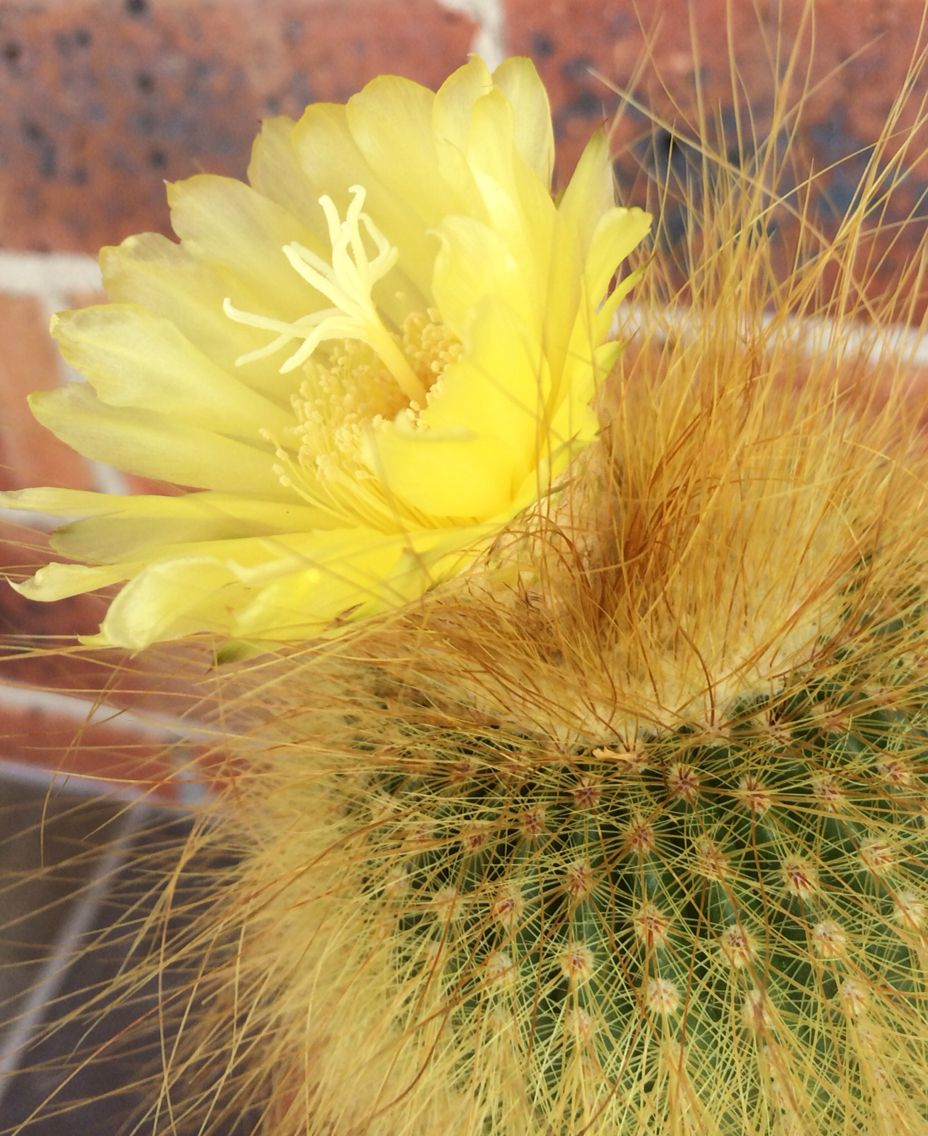 Yellow Cactus Flower I Have Waited For Years Just So Beautiful Ps