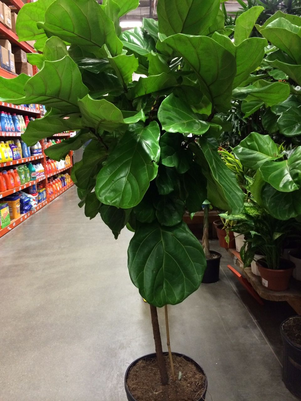 Pleasing Fig Tree Home Depot 5Tall Plants Planters In 2019 Download Free Architecture Designs Jebrpmadebymaigaardcom