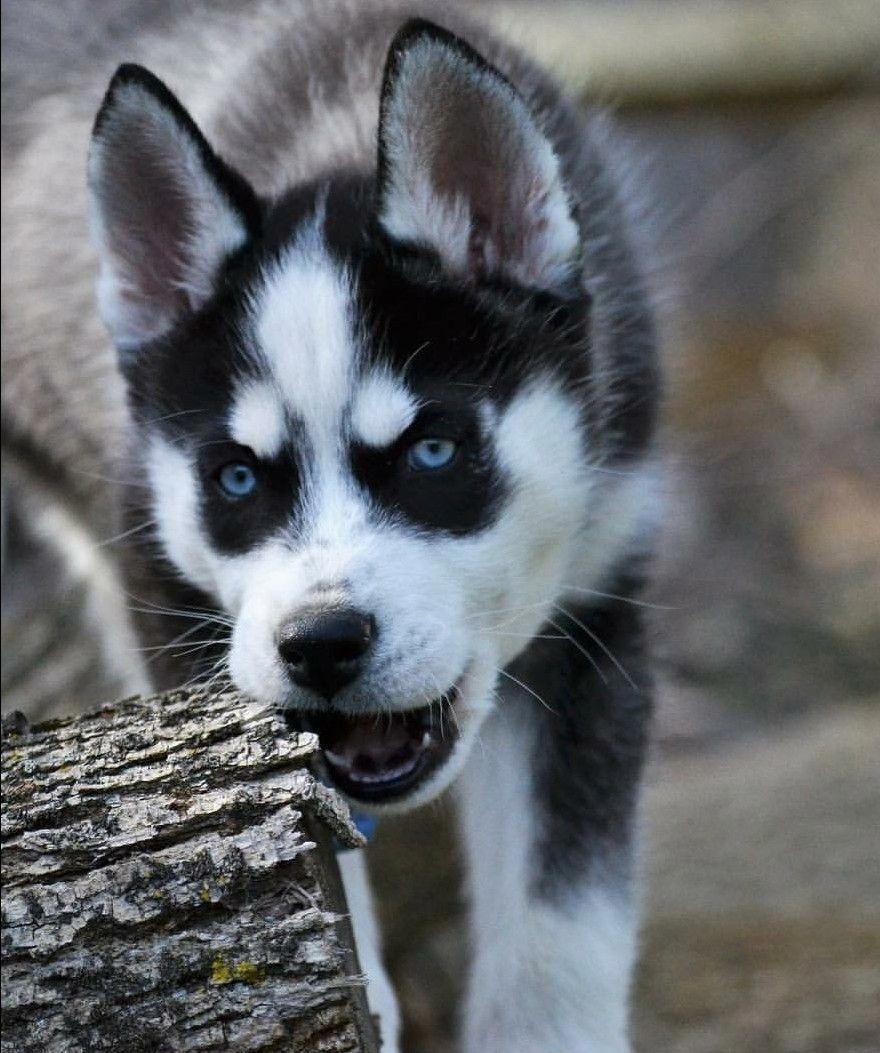 Wolf Look Alike Siberian Husky Ninja Vom Wolfstor Instagram