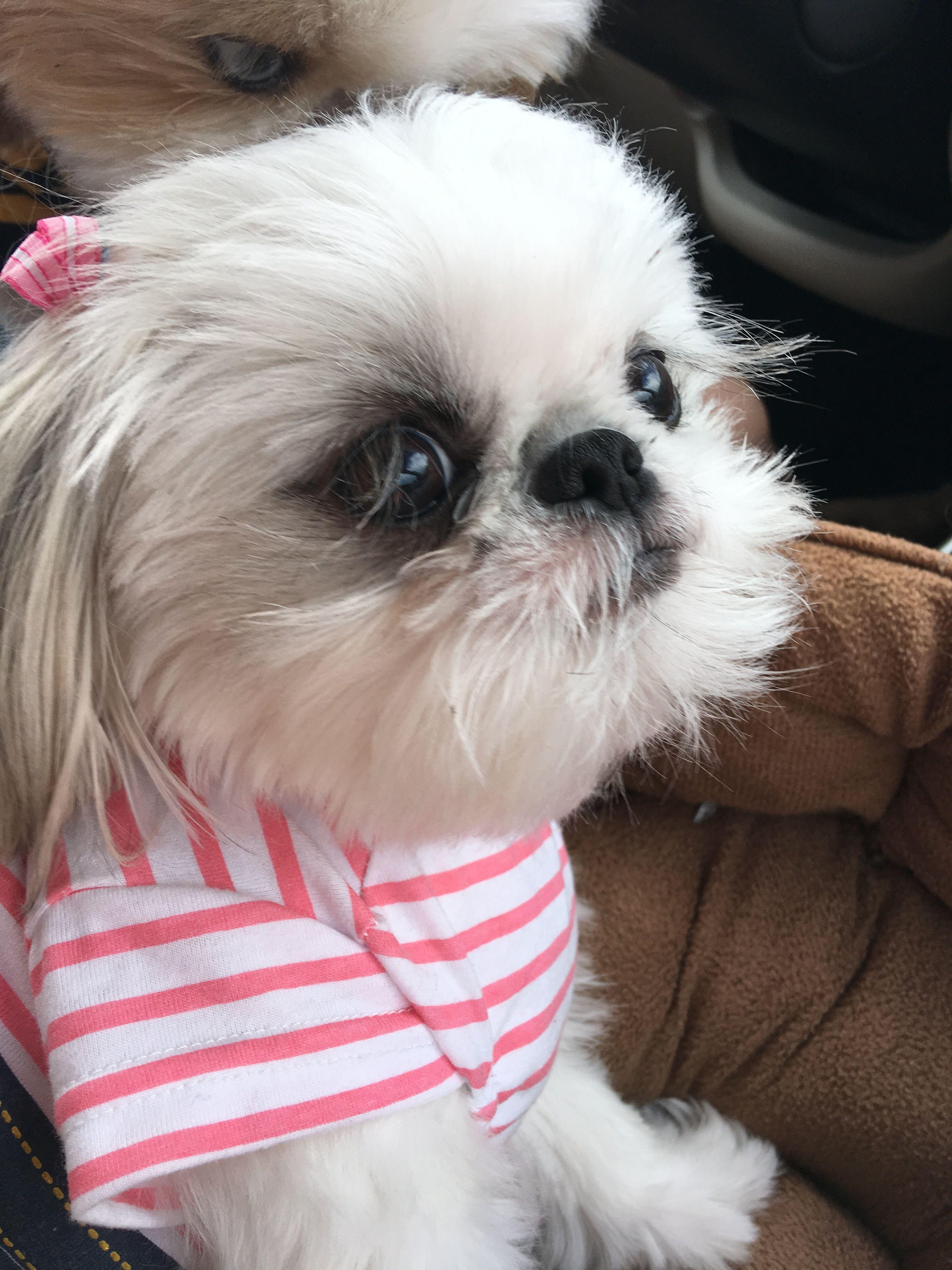 Random Image By Lyndzi Marines Shih Tzu Puppy Shih Tzu Dog