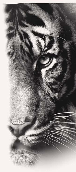Photo of Tiger  #tiger