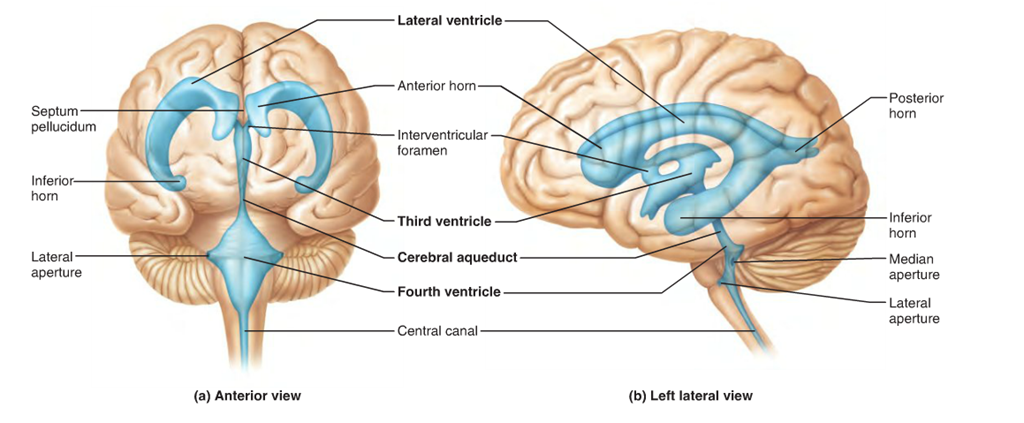 Pix For Ventricles Of The Brain Diagram Anatomy Physiology