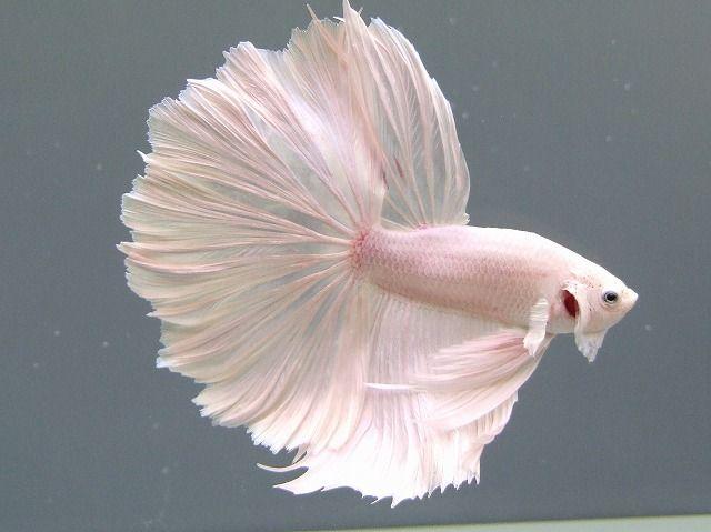 Combattant blanc la nature est belle pinterest for Achat poisson combattant