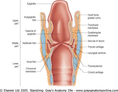 larynx coronal section | Anatomy and Physiology for Communication ...