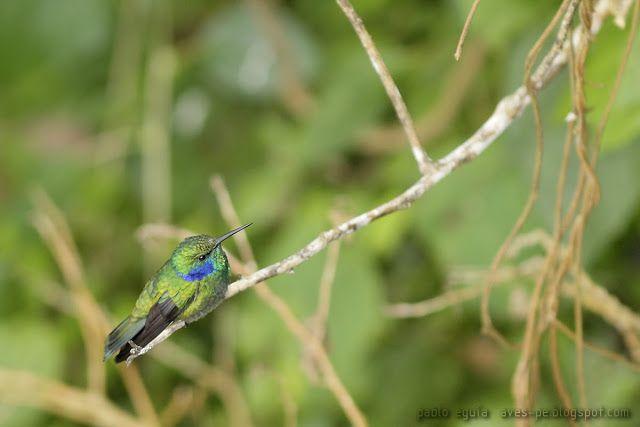 mis fotos de avesColibri thalassinus Colibrí Chico
