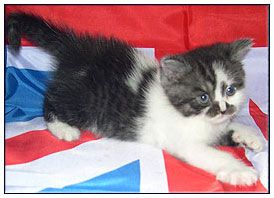 British Black Smoke Bicolour Cats Cattery Cute Cats