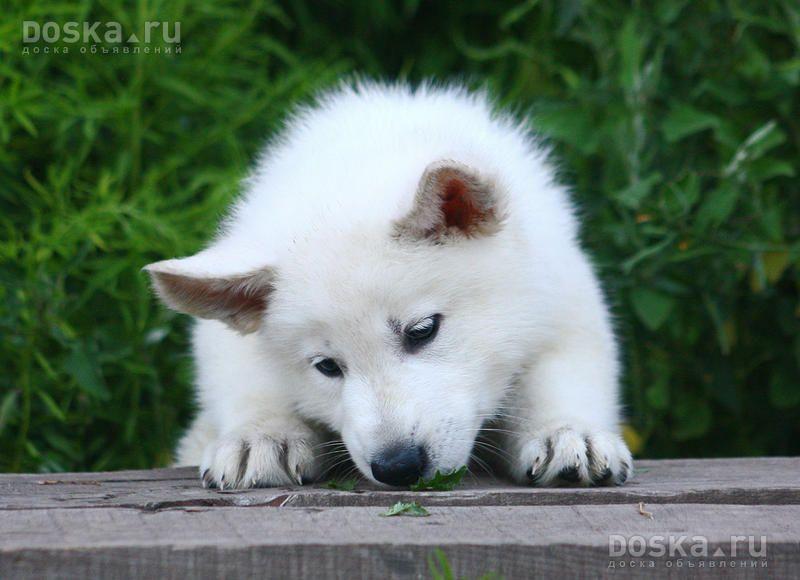 White German Shepard Weisser Schaferhund Hunde Welpen Und Hundebabys
