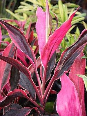Buy Cordyline Cappuccino Plants For Sale Online How To Grow Care For Ti Plant Plants Pink Leaf Plant