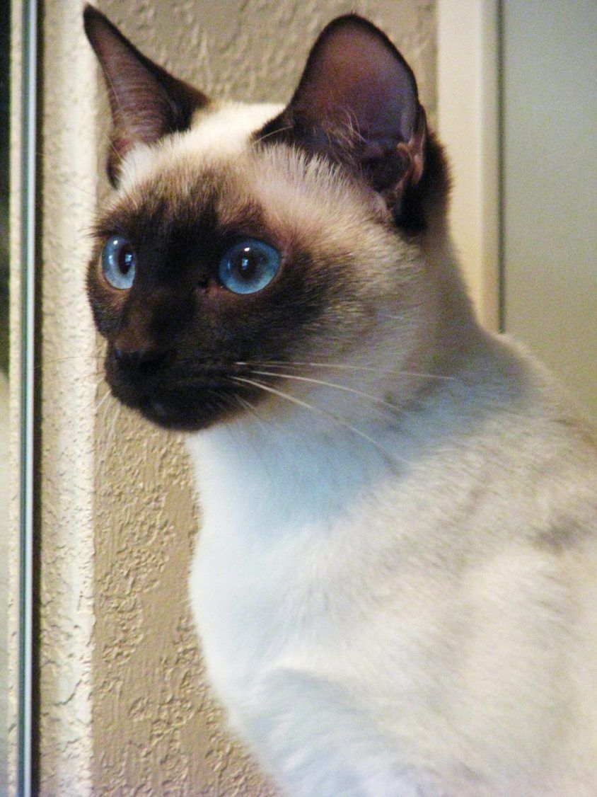 Applehead Old Style Traditional Siamese Cats And Kittens Siamese Cats Pretty Cats