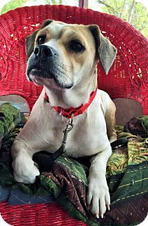 Buffalo Ny English Bulldog Beagle Mix Meet Beanie A Dog For