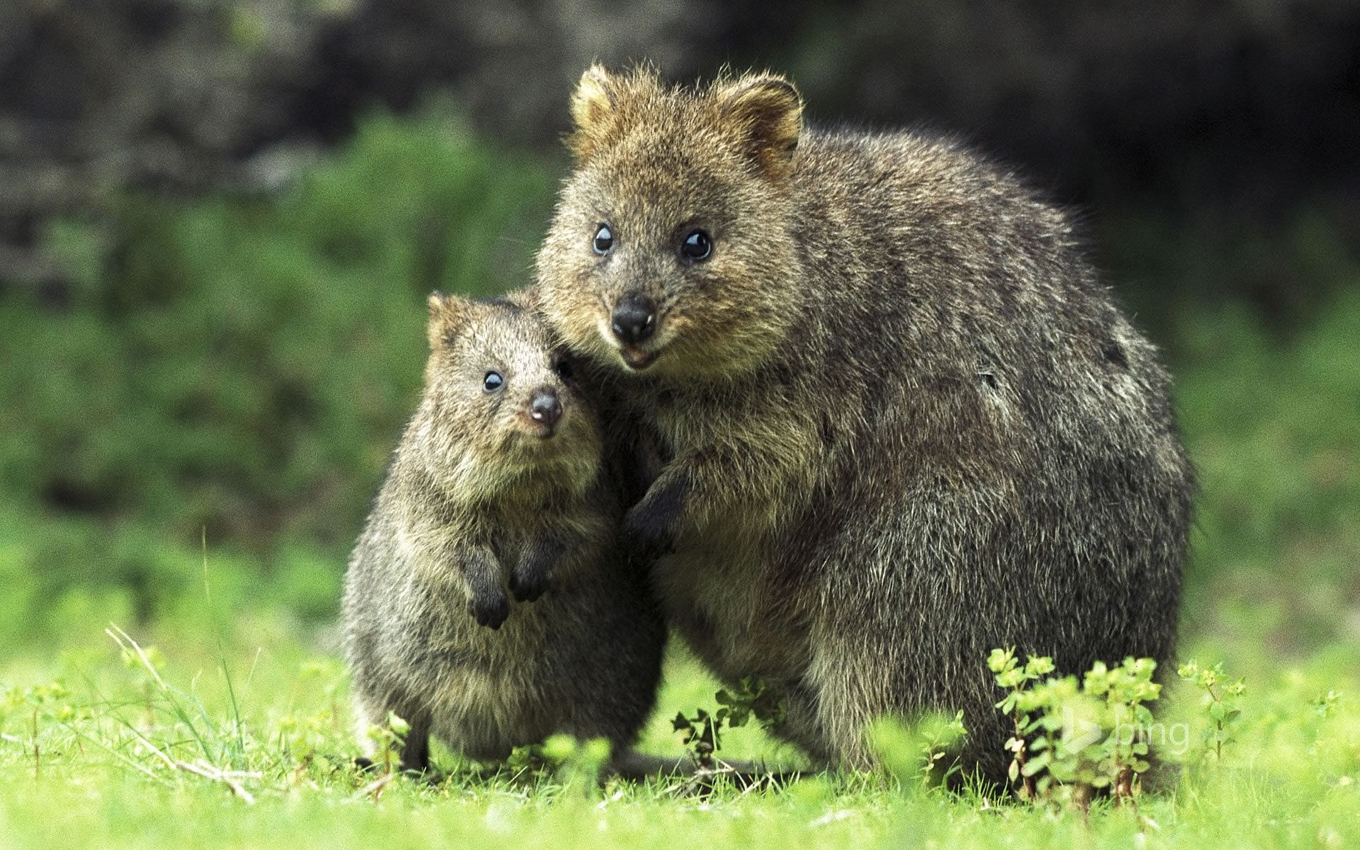 Quokka Mother And Son On Rottnest Island Western Australia C Jean Paul Ferrero Mary Evans Picture Library Ltd Age Fot Animais Felizes Animais Bonitos Animais