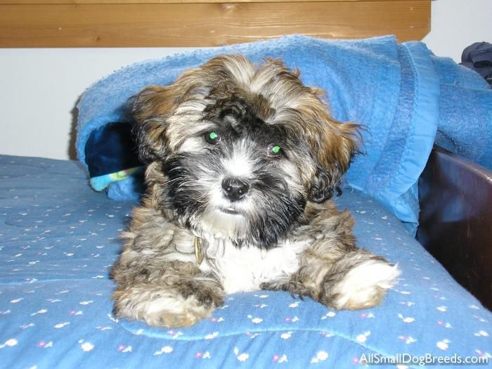 Hmmmm Cute Lil Brown Havanese Puppy Should Darci Buy One Y E S Havanese Havanese Puppies Dogs
