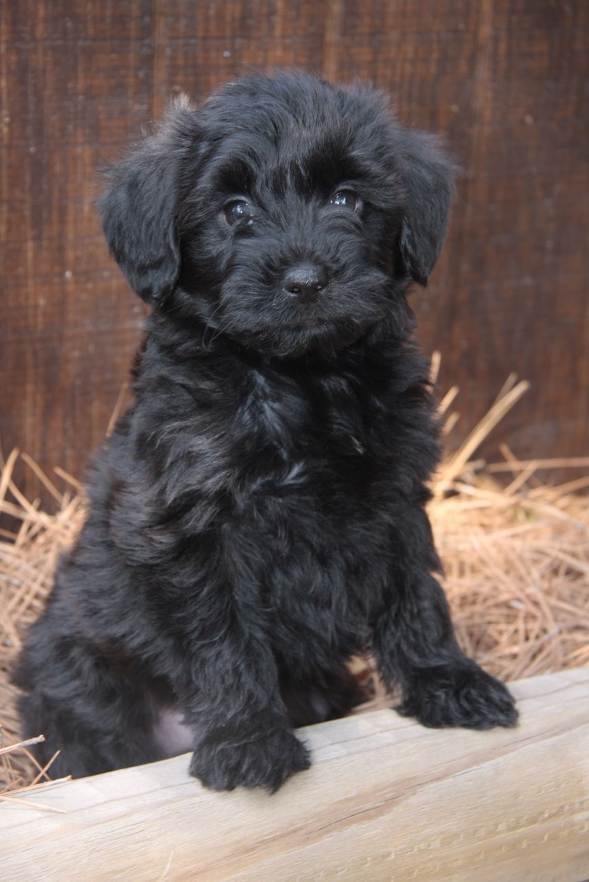 Yorkiepoo Info, Temperament, Training, Diet, Puppies