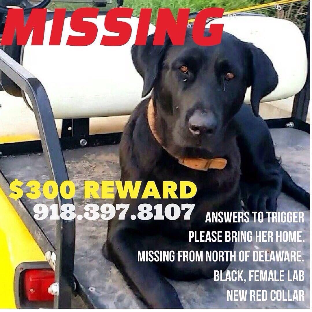 "#Lostdog ""Trigger"" #Delaware #OK #LabradorRetriever Black female - Red  Collar"