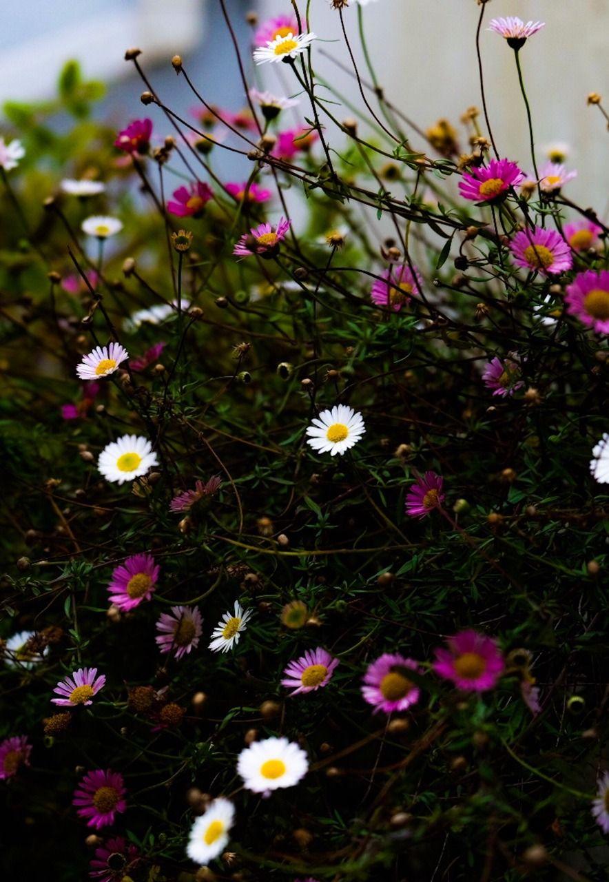 Jalouise Little Daisies Ieklerim Pinterest Flowers